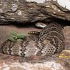 Eastern black-tailed rattlesnake (Viperidae, Crotalinae, Crotalus ornatus (Hallowell))