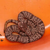 Rock Rattlesnake (Viperidae, Crotalus lepidus)