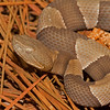 Broad-banded Copperhead (Viperidae, Agkistrodon contortrix laticinctus)