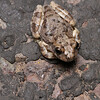 Canyon tree frog (Hylidae, Hyla arenicolor (Cope))