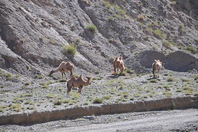 More camel shots...