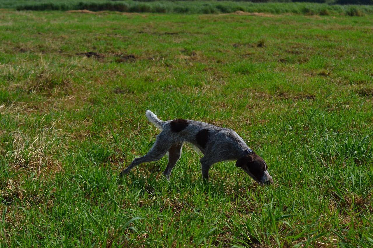 Darling Ellie of Sandhill on a pheasant track