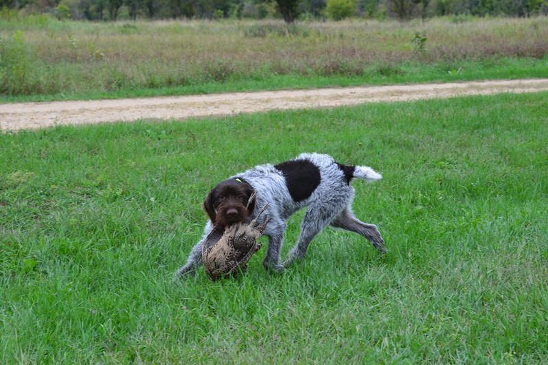 Bax z Kozamberka, owned by Paul Stadem.  5 month-old pup
