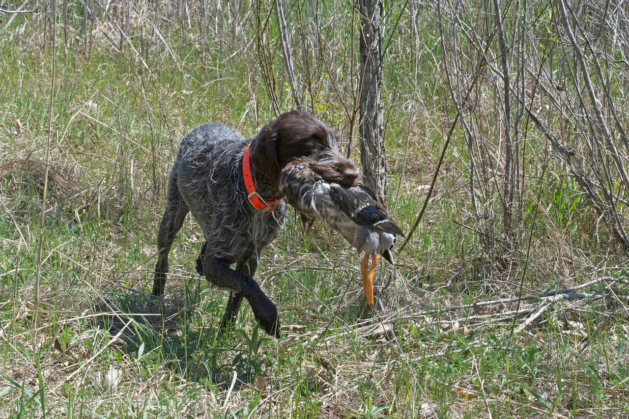 Arika of Zumbro Valley  IHDT.  Blind retrieve.