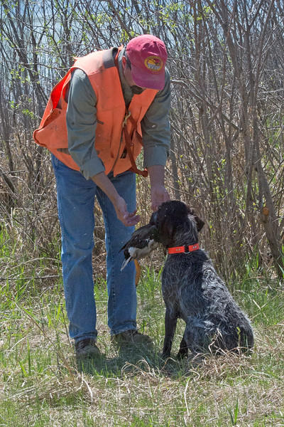 Arika of Zumbro Valley.  Owner: Andy Yeast. IHDT  Blind retrieve.