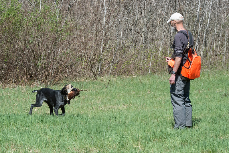 Oliver vom Rainmaker (Drahthaar)  NAT .  Retrieving pheasant following successful track.