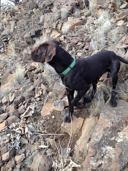 Hunting Chukars with Huck of Dutchman's Hollow