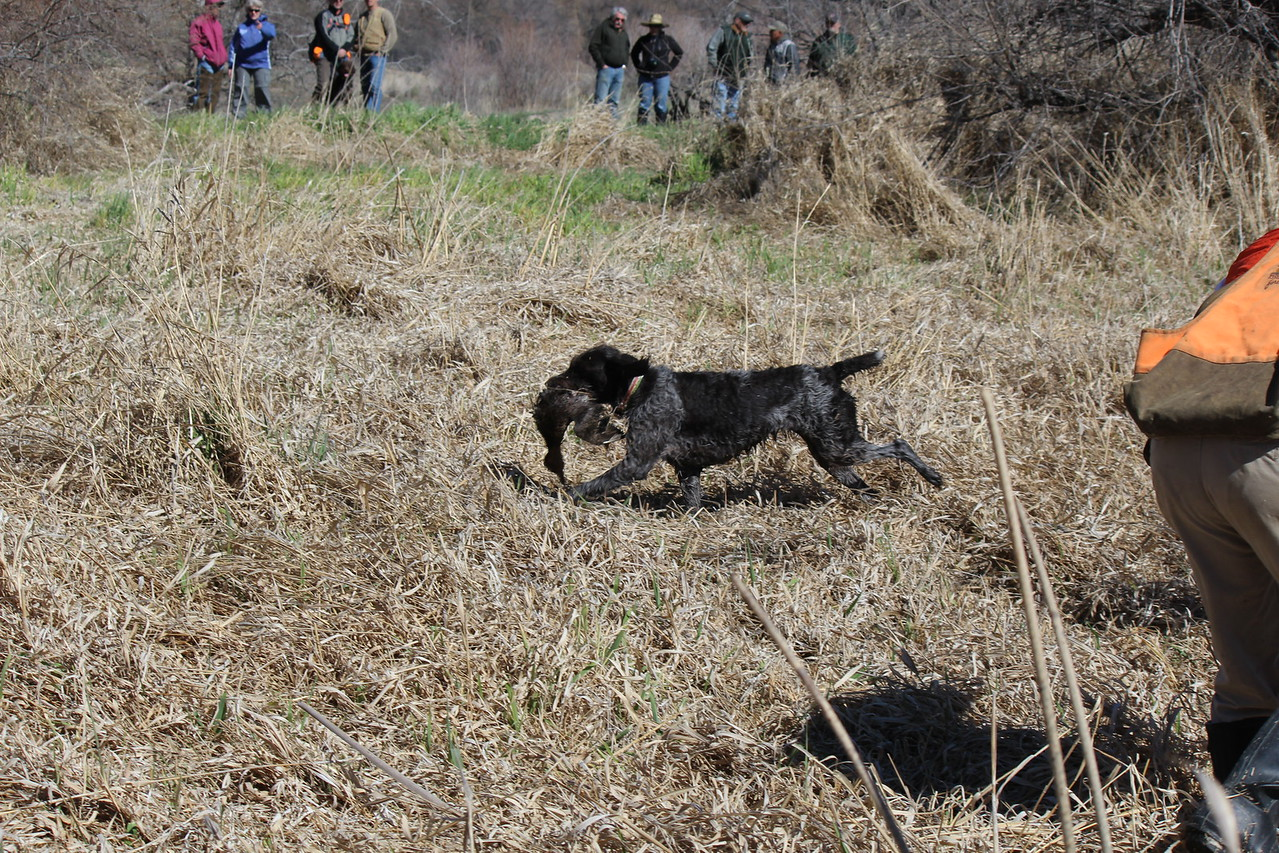 Cira produces on blind retrieve of duck