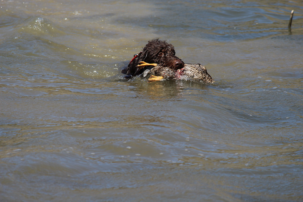 Eider retrieving duck