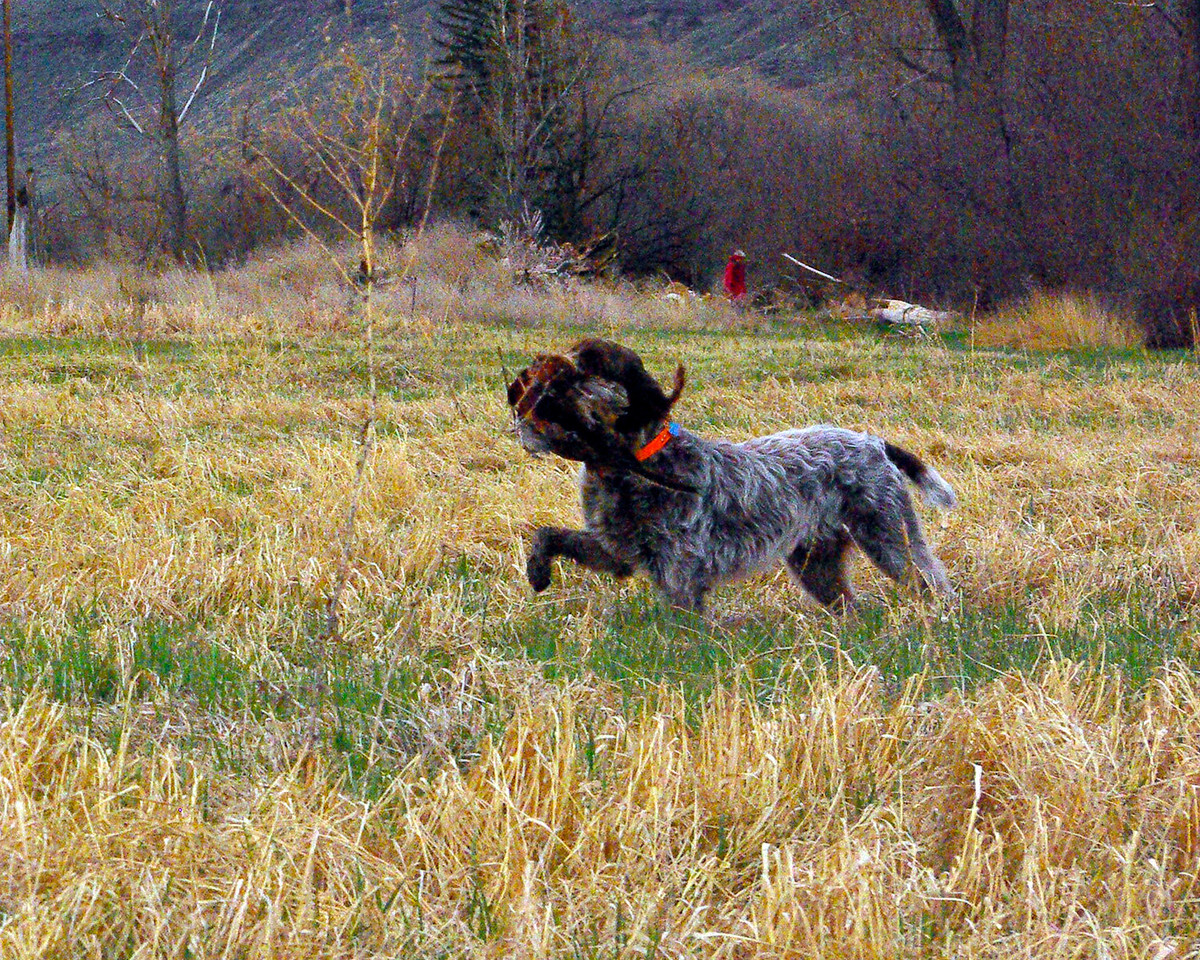 Bo of Wolf Fork Canyon retrieve from track