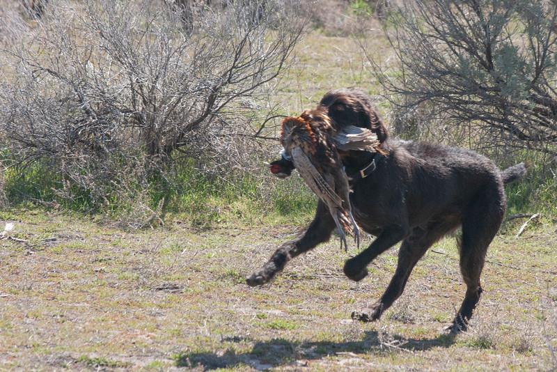 Korina retrieving pheasant