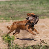 grca_puppy2012_0433