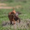 grca_puppy2012_0961