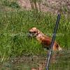 grca_puppy2012_1130