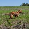 grca_puppy2012_0532