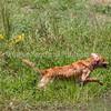 grca_puppy2012_1246