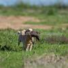 grca_puppy2012_0293