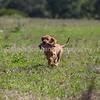 grca_puppy2012_0808
