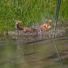 grca_puppy2012_1020