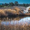 KSchwamkrug-Pond and Great Egret