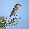 BillF_Bluebird_1