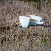 KSchwamkrug-Great Egret carrying vole