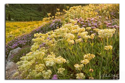 O'Grady, Claudia - Wildflowers-1 copy