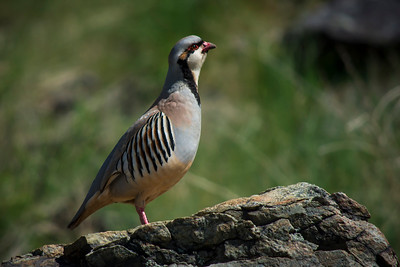 Phillip_Adams-One Proud Chukar