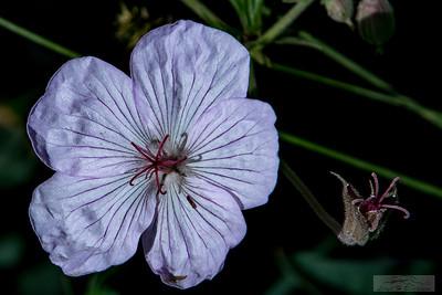 Lloyd_Blackburn-Wild Flowers-5