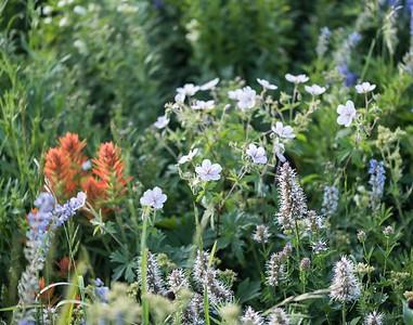 Arnie Finkleman - Albion_Basin_Wild_Flowers-9