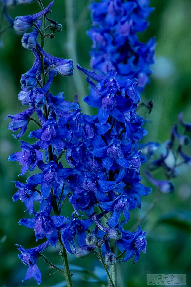 Lloyd_Blackburn-Wild Flowers-14