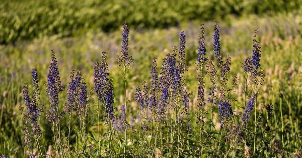 Arnie Finkleman - Albion_Basin_Wild_Flowers-10