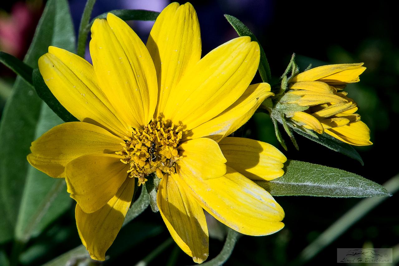 Lloyd_Blackburn-Wild Flowers-4