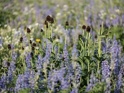 Arnie Finkleman - Albion_Basin_Wild_Flowers-5