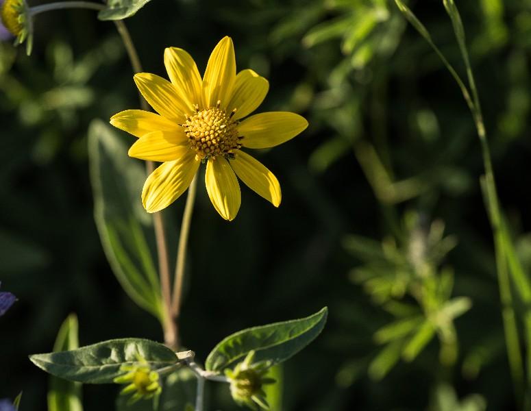 Arnie Finkleman - Albion_Basin_Wild_Flowers-6