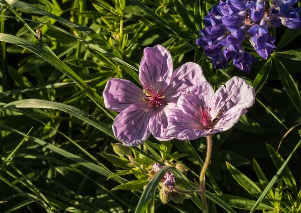 Arnie Finkleman - Albion_Basin_Wild_Flowers-7
