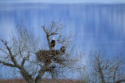 chad_parry_bald_eagles