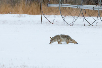 Jason_Hutchison-Coyote_on_the_Hunt
