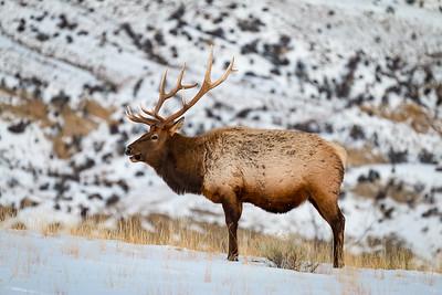 Jason_Hutchison-Elk