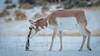 Jason_Hutchison-Curious_Antelope