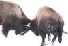 john nellist 06 yellowstone bison