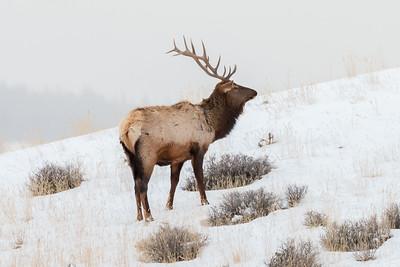 Jason_Hutchison-Bull_Elk