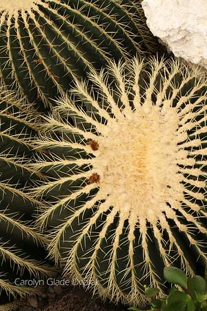 Carolyn _Dvorak-Cactus