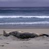 New Zealand sea lion (Phocarctos hookeri)
