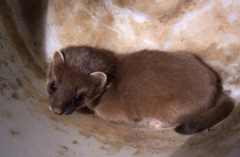 Young stoat