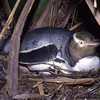 Nesting yellow-eyed penguin (Megadyptes antipodes)