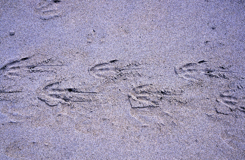 Yellow-eyed penguins (Megadyptes antipodes) footprints