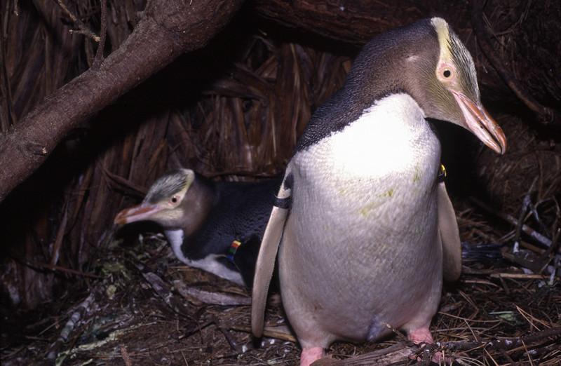 Nesting yellow-eyed penguins (Megadyptes antipodes), MS49