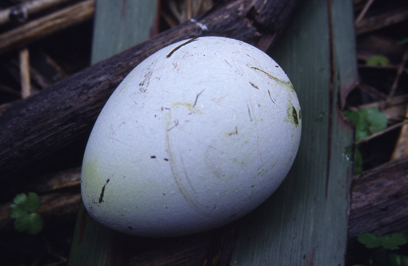 Yellow-eyed penguins (Megadyptes antipodes) egg, Nest MS58
