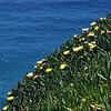 Ice plant (Carpobrotus edulis). Taiaroa Head, Otago Peninsula